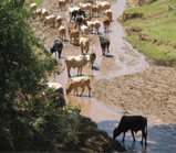 Cattle Along the Ewaso