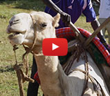 camel-derby