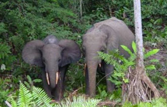 forest-elephants