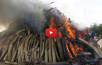 Ivory-Burn
