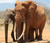 Great Tuskers