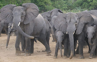 Yankari Elephants/WCS