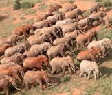 Tsavo Bulls Herd