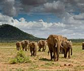 samburu_elephants
